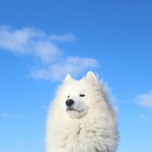 Alfie the samoyed